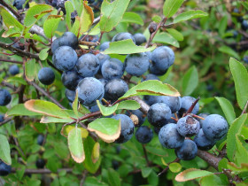 Photograph of Blackthorn berries