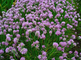 Photograph of bed of flowering chives