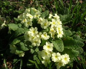 Photograph of the primrose
