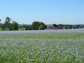Photograph of a field of flax in flower in Belgium