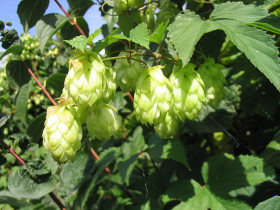 Close-up of a swag of hops on the vine