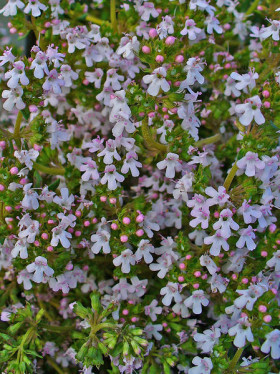Close-up of Thyme flowers